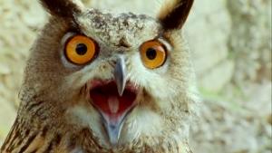 shouting-owl