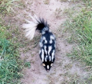 skunk-markings