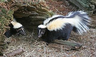 striped-skunk