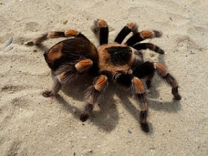 tarantulas cool facts