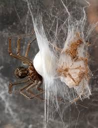 tarantula-eggs