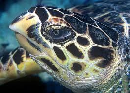 turtles-endangered