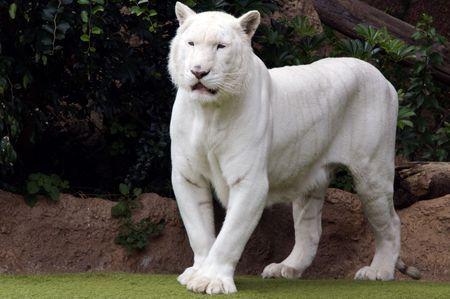 white-panther