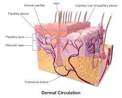 dermal-circulation