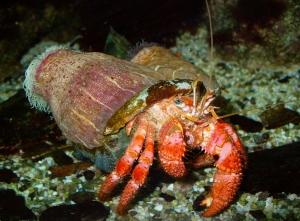 sponge-crab