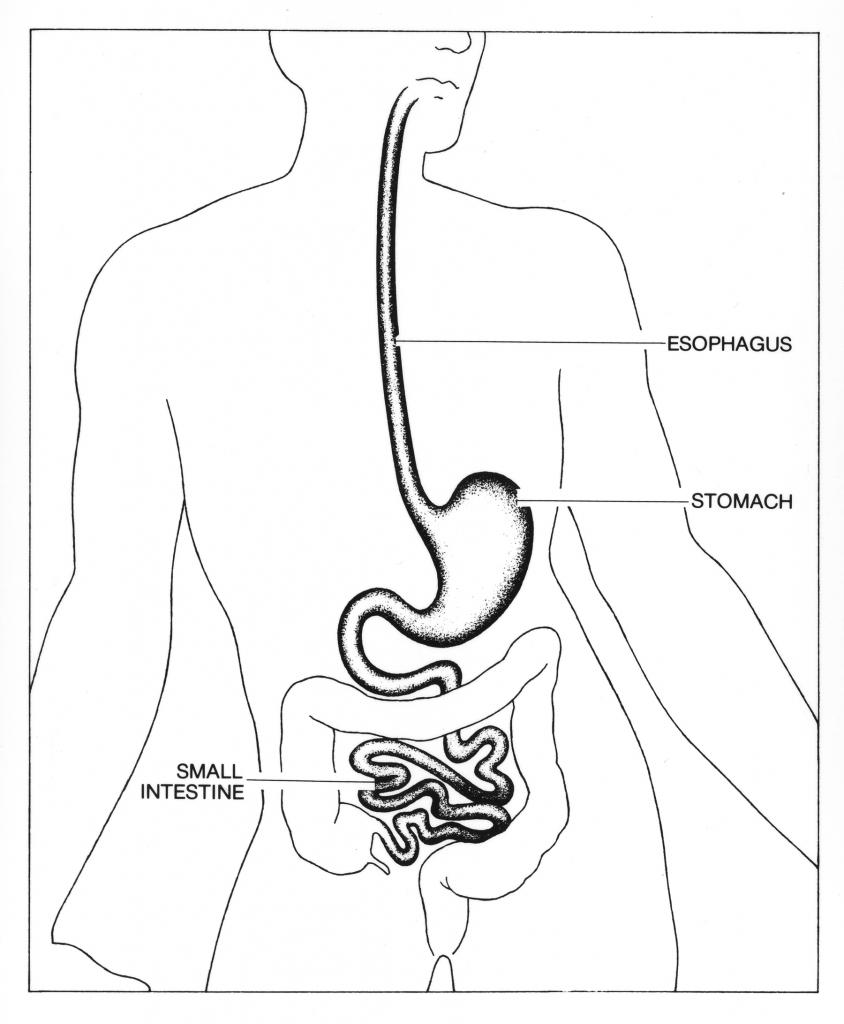 esophagus-diagram