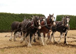 horses-plowing
