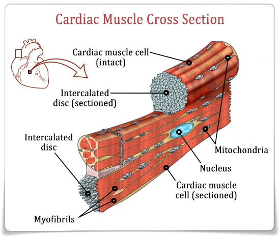 cardiac-muscle-cross-section
