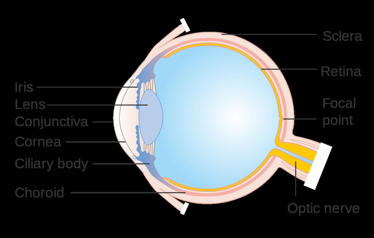 cornea-eye-diagram