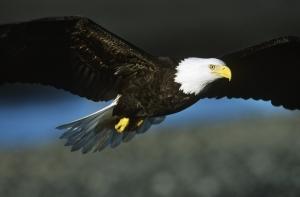 bald eagle characteristics