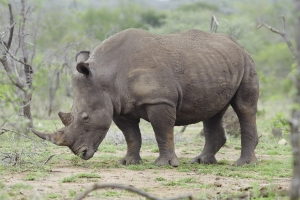 rhino on African plains