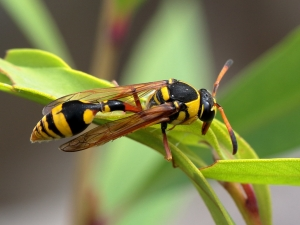 Yellow Potter Wasp