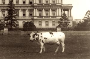 President Taft's cow
