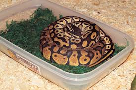 python in a box