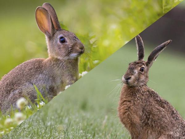 difference between hare and rabbit