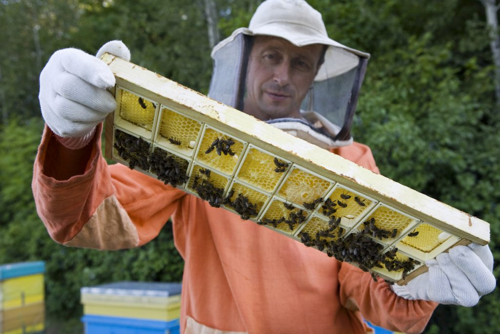 gathering honey from bees
