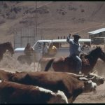 Paiute Owned Cattle Begins At Pyramid Lake Indian Reservation