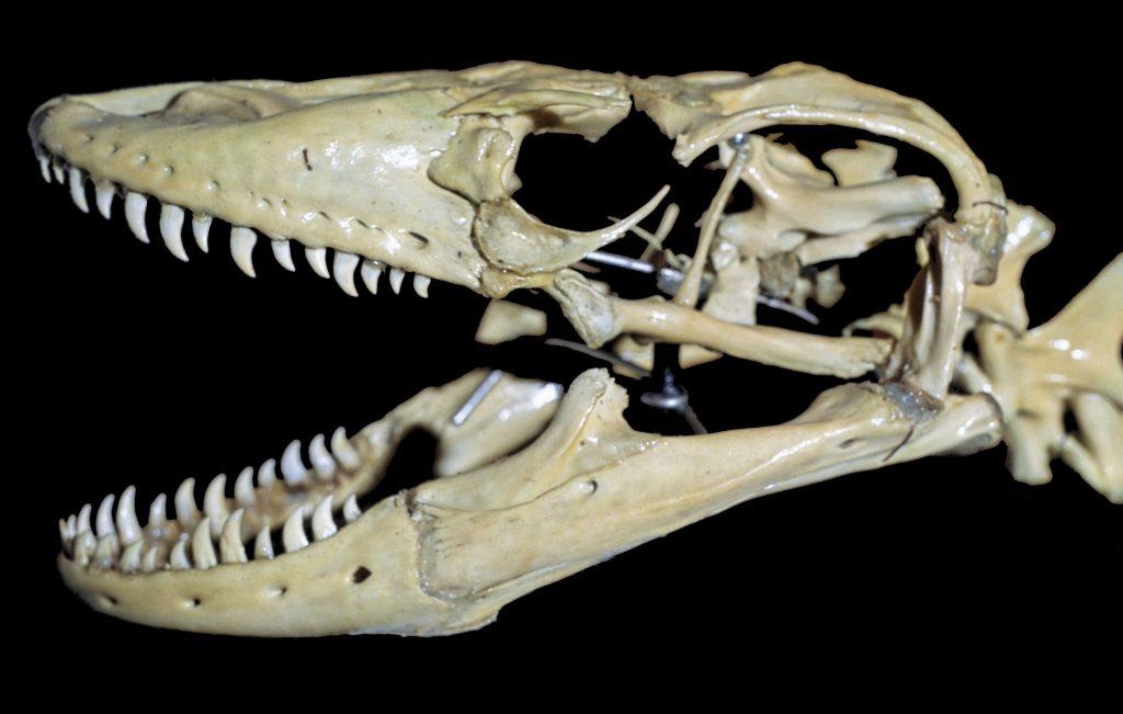 komodo dragon teeth