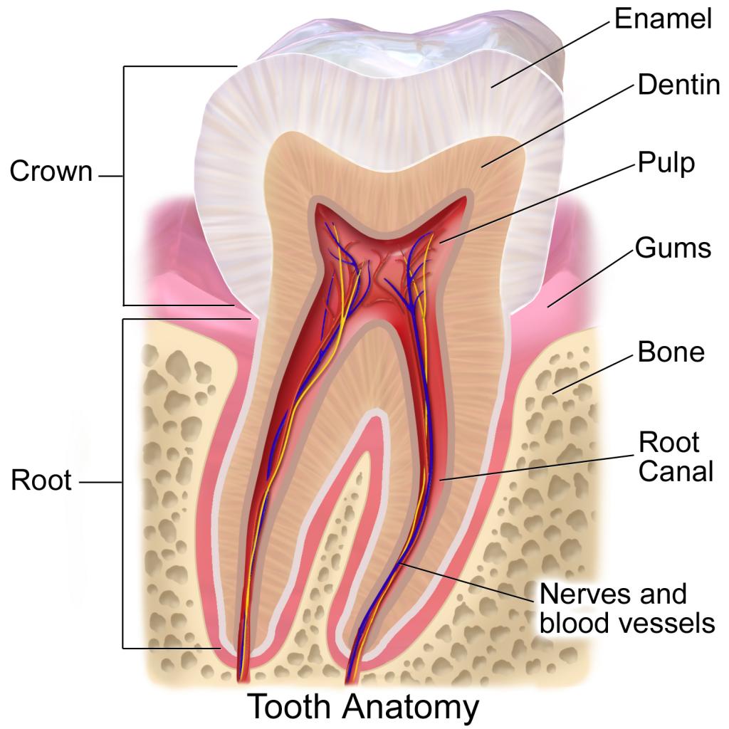 tooth anatomy