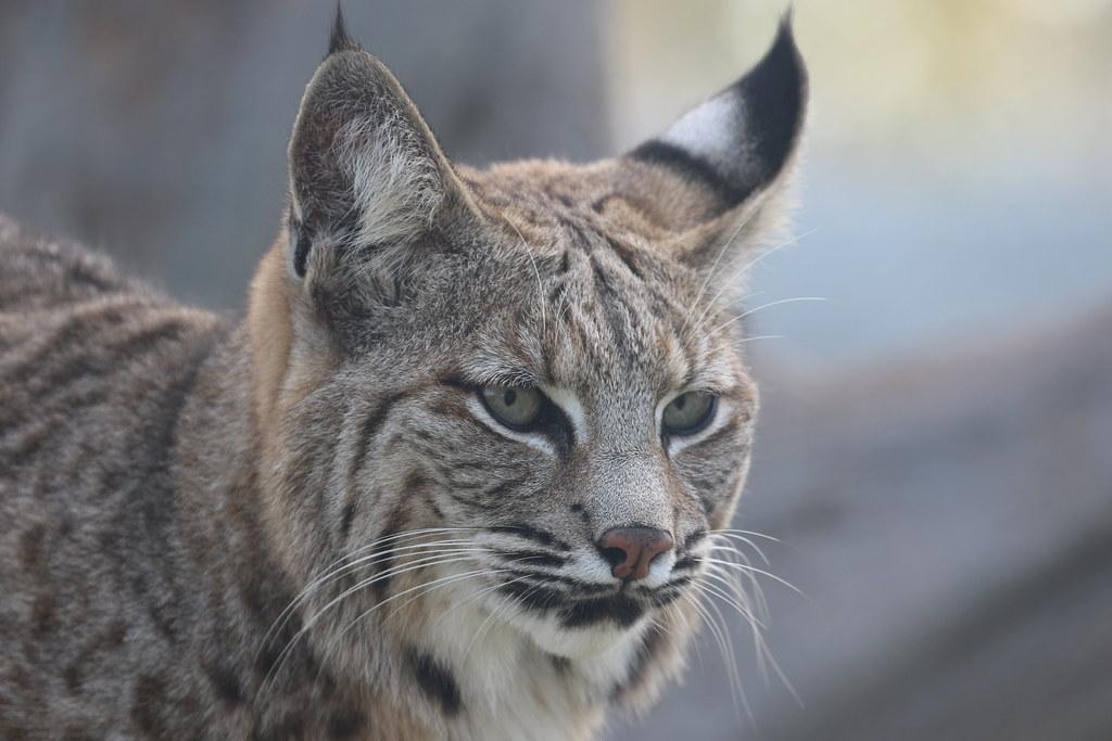 bobcats like cats