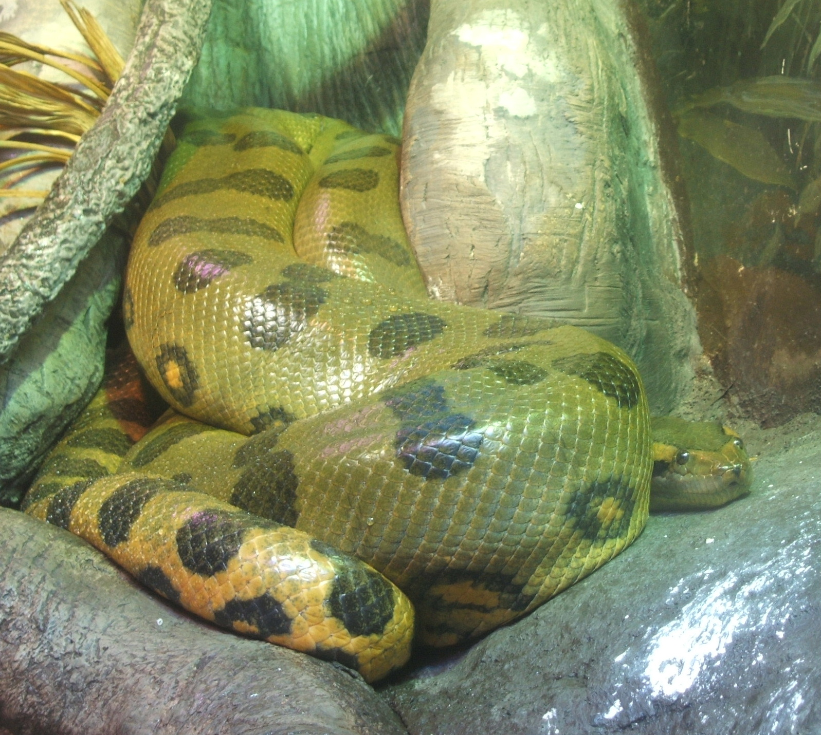 Green-anaconda