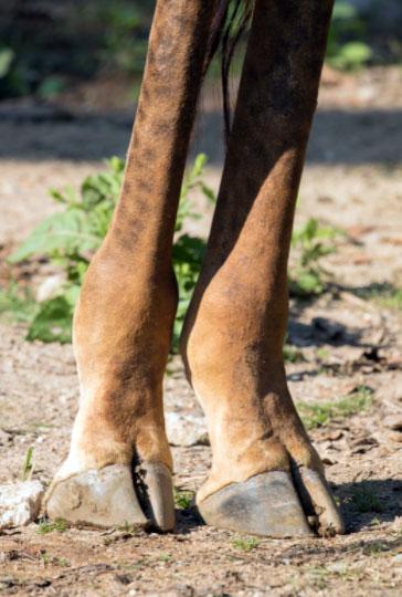 giraffe hooves