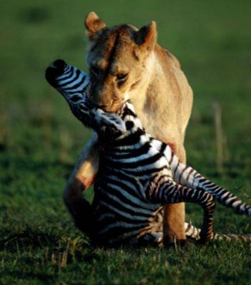 lioness hunts zebra