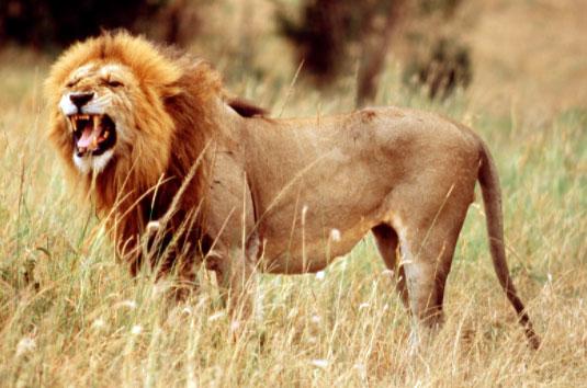male lion territory