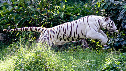 white tiger pouncing