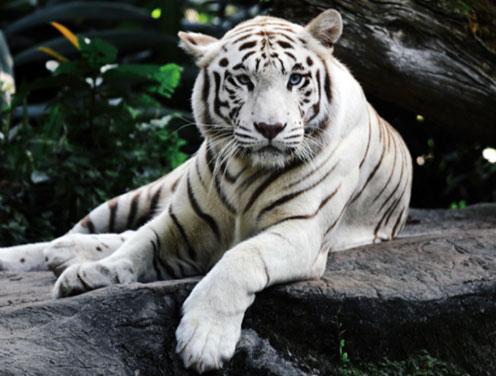 white tiger sapphire eyes
