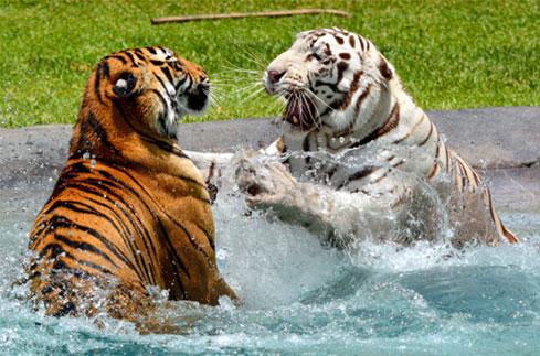 white tiger vs normal bengal tiger