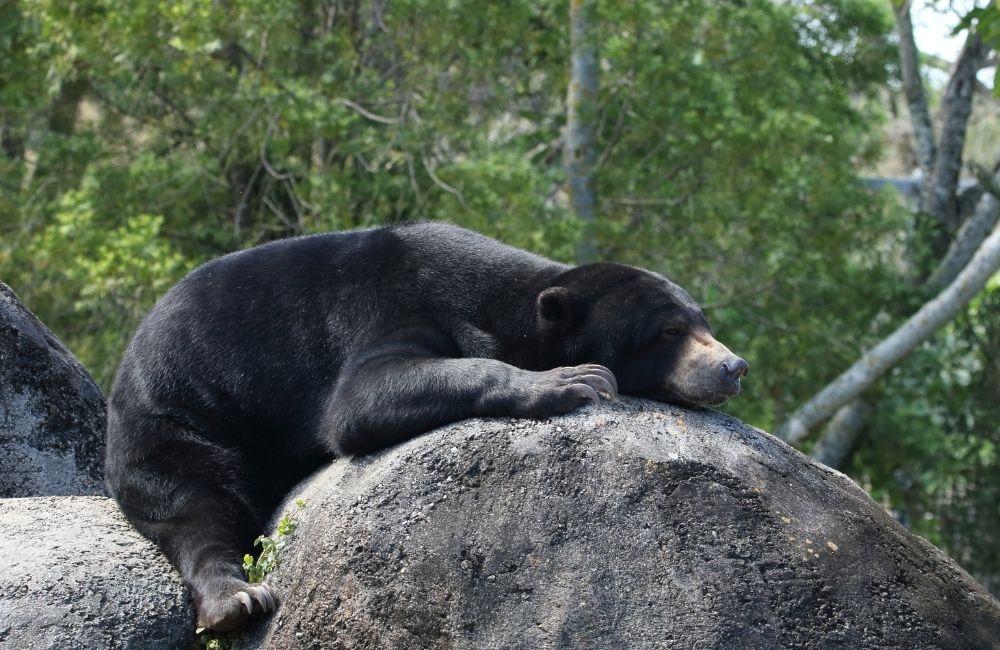 sun bear lying on a rock