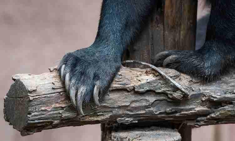 sun bear claws